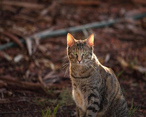 Feral Cat Management